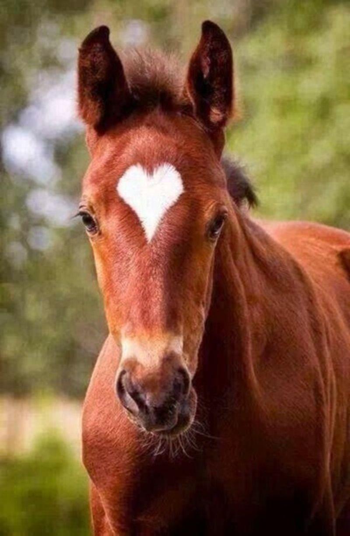joli cheval avec une tache en forme de coeur. Black Bedroom Furniture Sets. Home Design Ideas