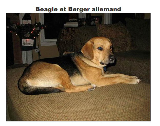 quand une beagle rencontre un berger allemand. Black Bedroom Furniture Sets. Home Design Ideas