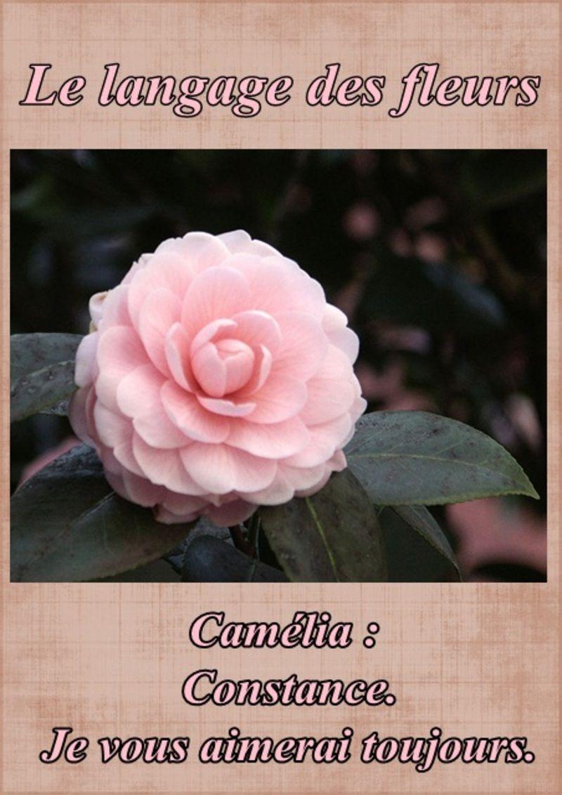 """""""Le langage des fleurs...camélia"""""""
