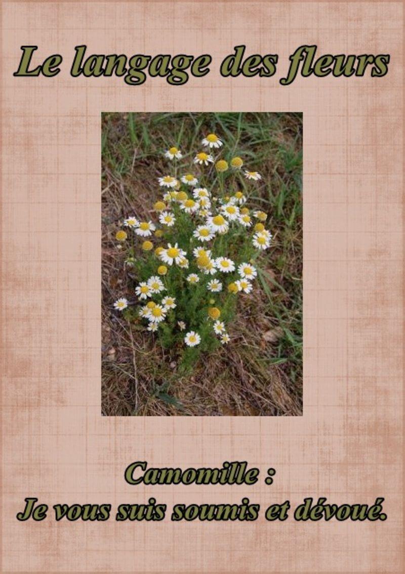 """""""Le langage des fleurs"""" la camomille"""