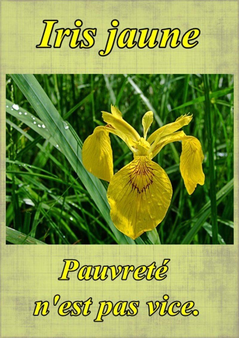 Le langage des fleurs l 39 iris jaune - Langage des fleurs iris ...