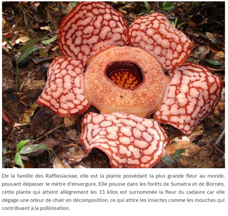 La Plus Grande Fleur Au Monde Rafflesia Arnoldii