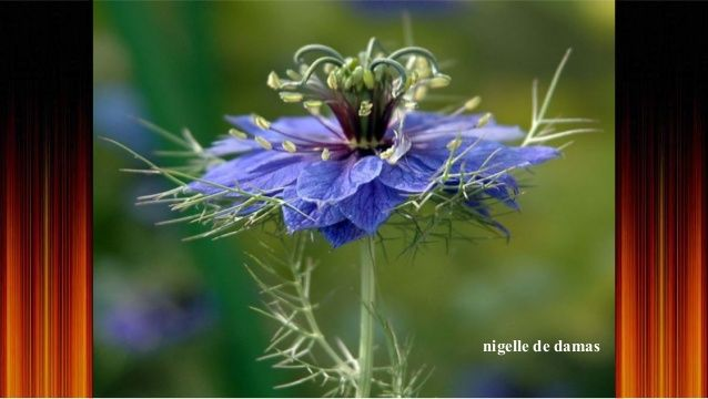 Fleur Rare Et Magnifique La Nigelle De Damas