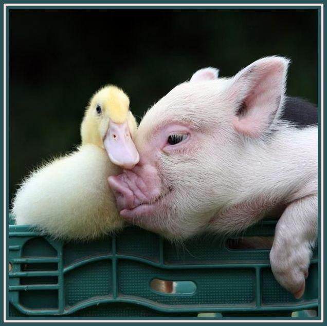 Nous on est copains comme cochon mignon tout plein - Image de cochon mignon ...