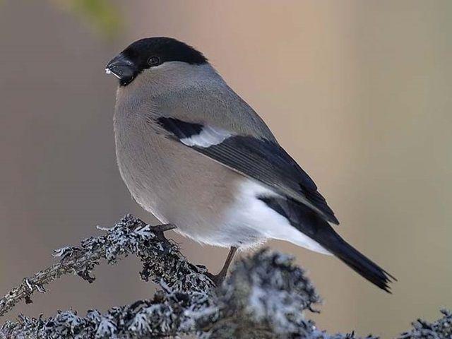 Oiseau le bouvreuil pivoine for Photo oiseau