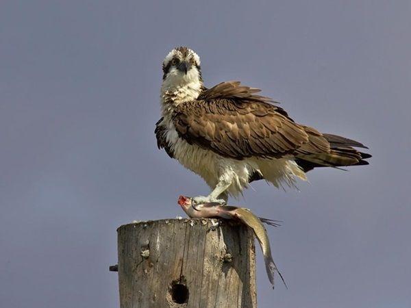 Oiseau le balbuzard p cheur for Photo oiseau